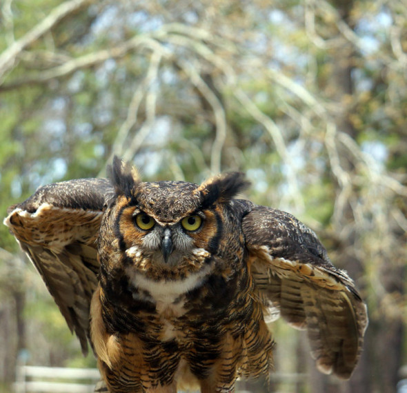 Great Horned Owl Wildlife Rescue Center Hampton Bays