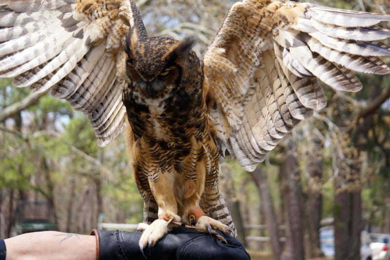 Great Horned Owl Wildlife Rescue Center of the Hamptons