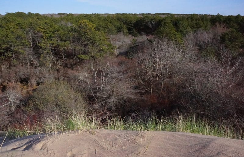 Forest being covered by The Walking Dunes