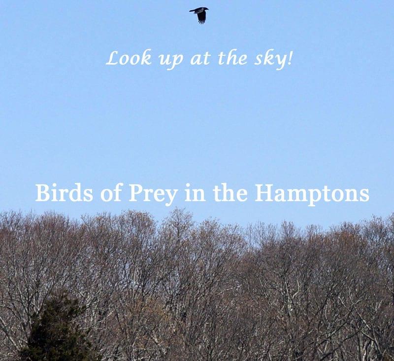 Birds of Prey in the Hamptons