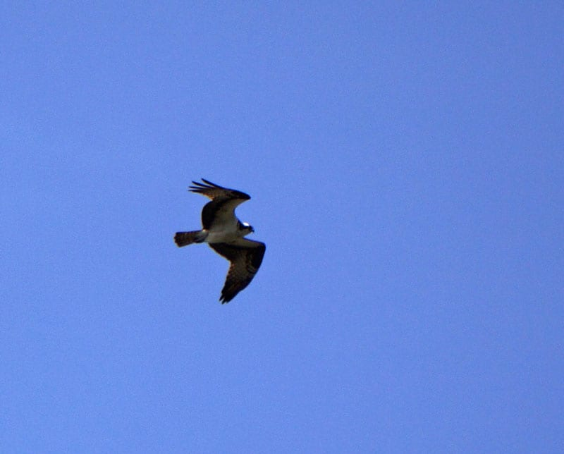 red tailed hawk in sky