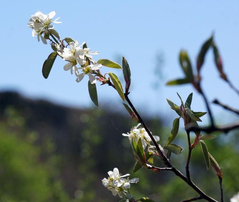Shadbush blossom