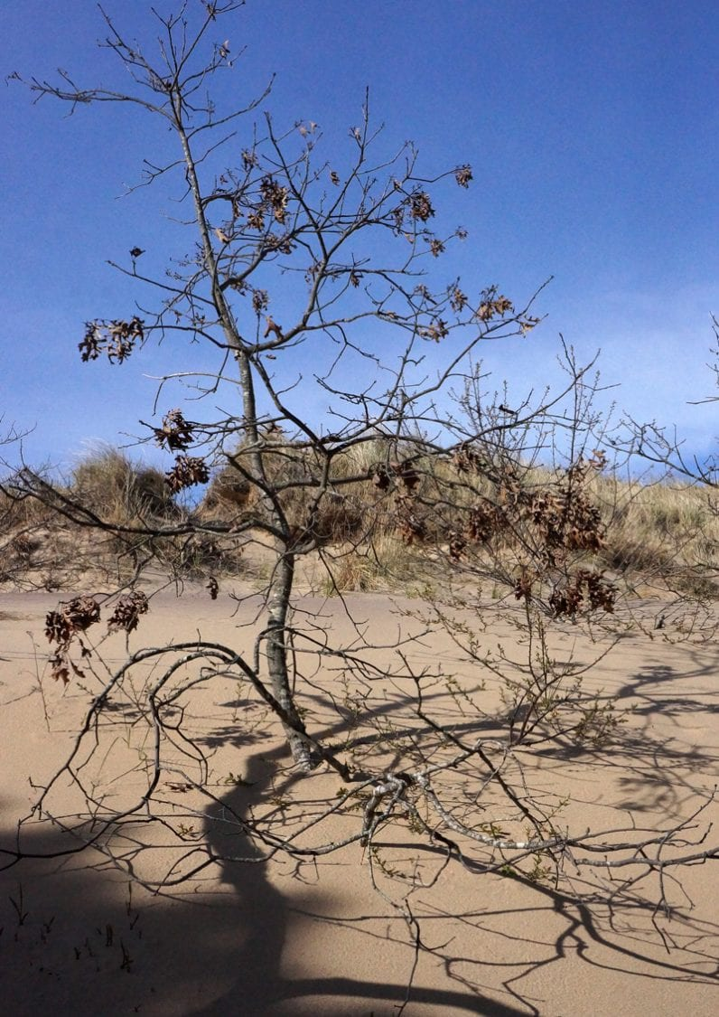 Tree covered in sand in Walking Dune