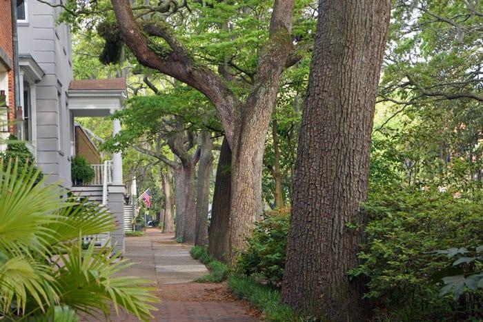 oak trees in Savannah street