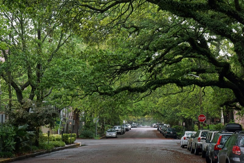 branches arching over Savannah street