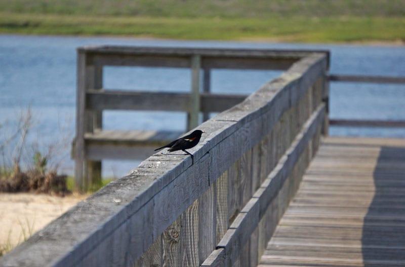 Red winged blackbird Munn Point boardwalk