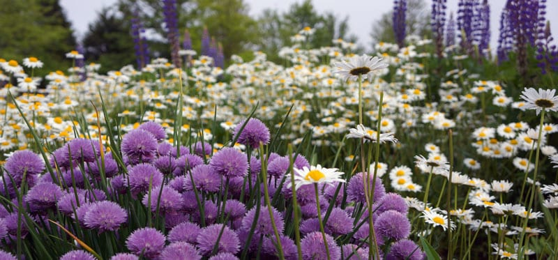 chives daisies lupines
