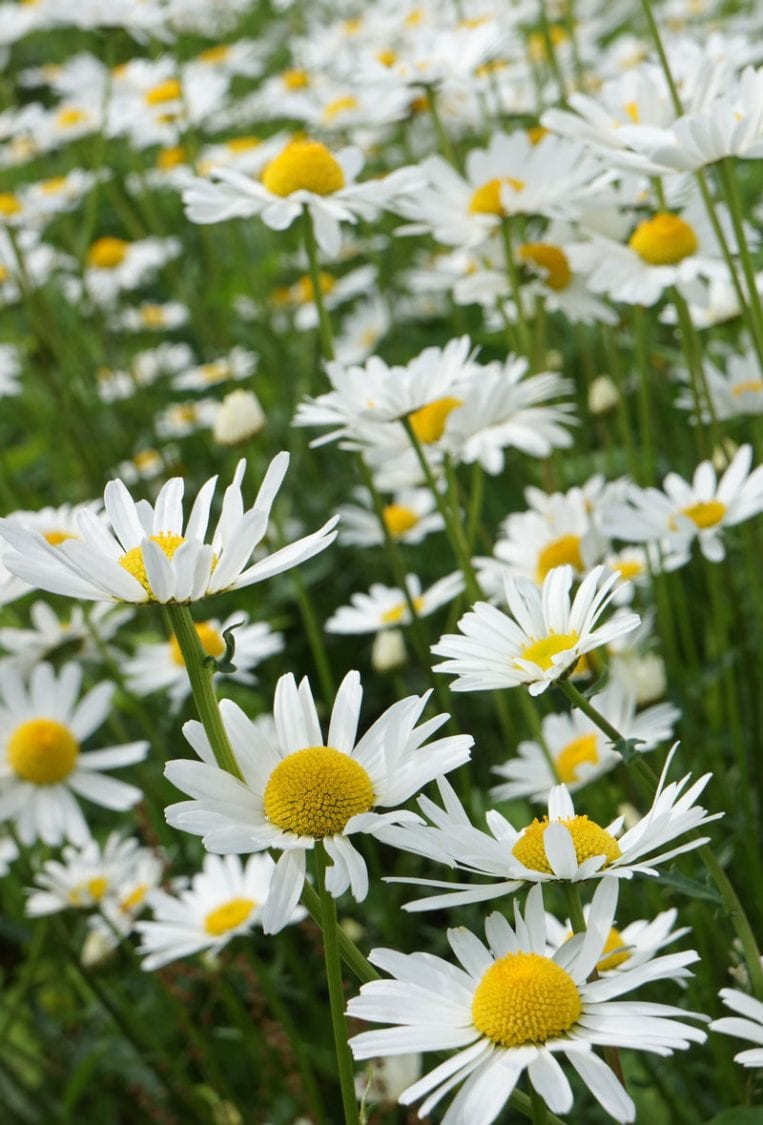 Daisies Old Town meadow