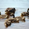 Goslings in pond