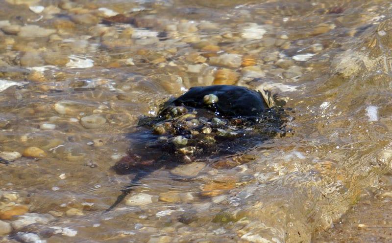 Horseshoe crab by Munn Point