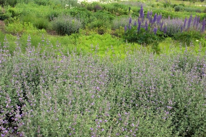 Shrubs of lavender
