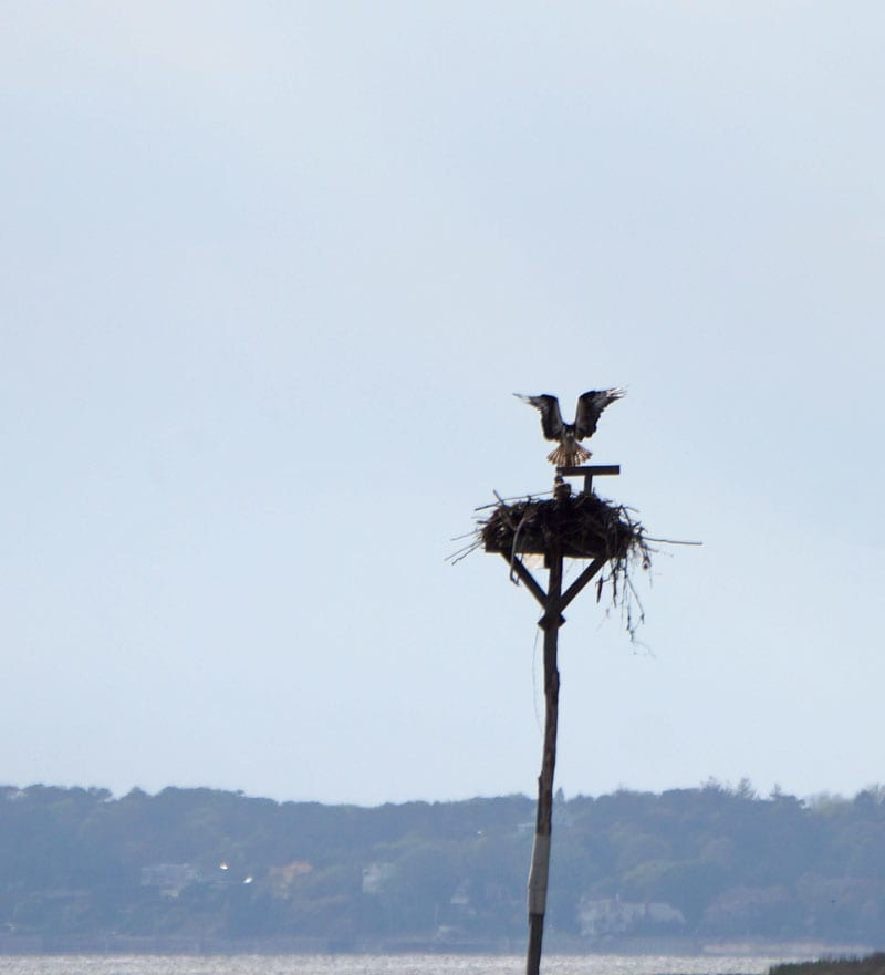 Osprey nest pole Munn Point