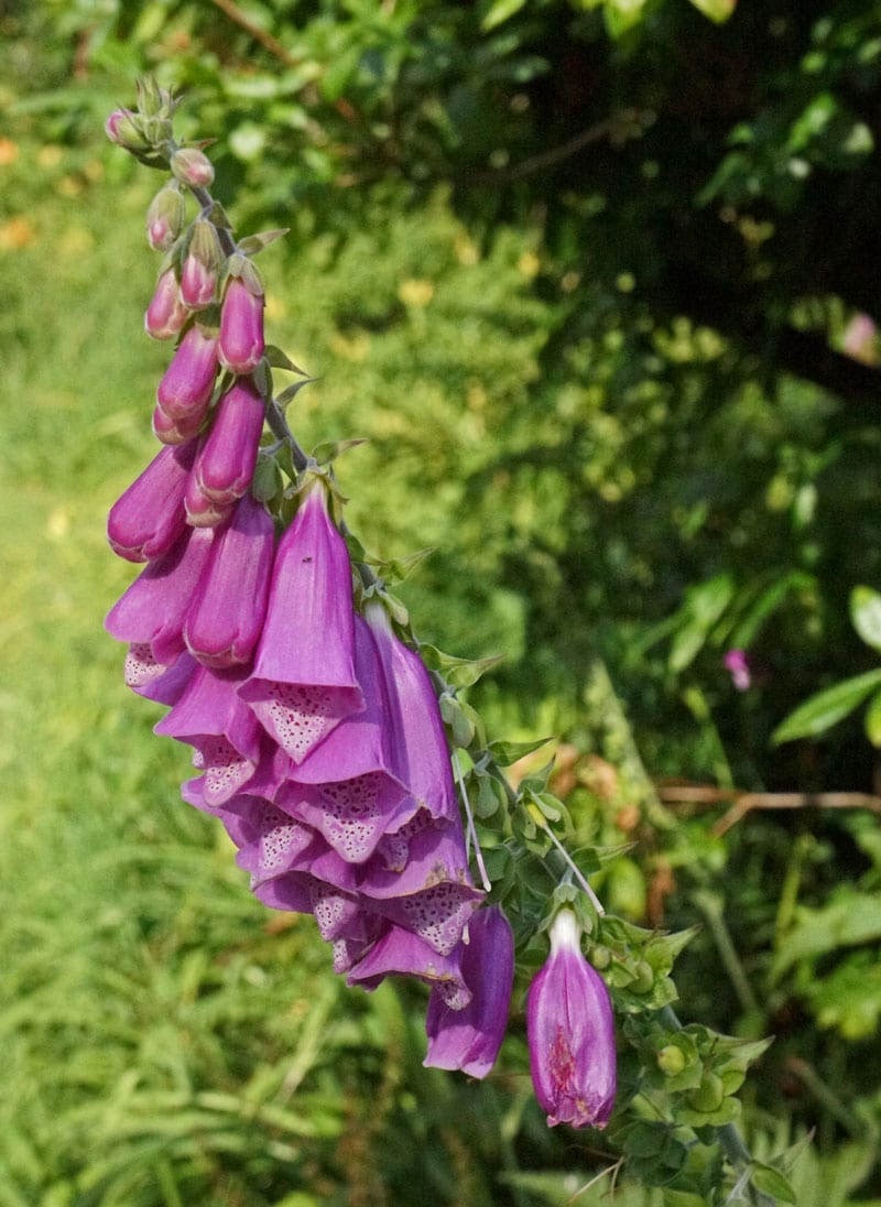 Foxglove in English garden