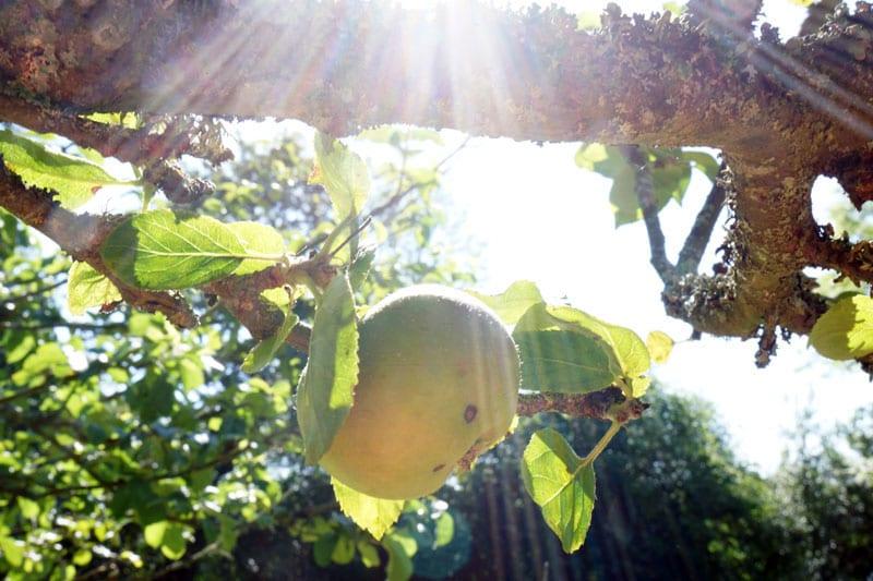 sun rays on apple
