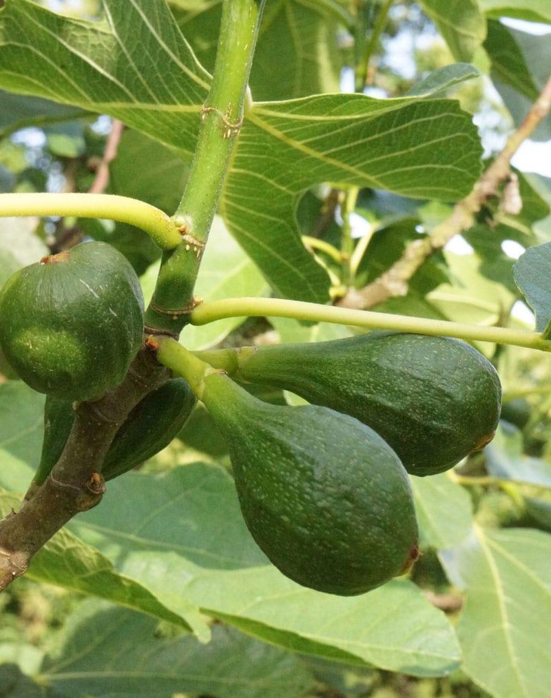 figs ripening
