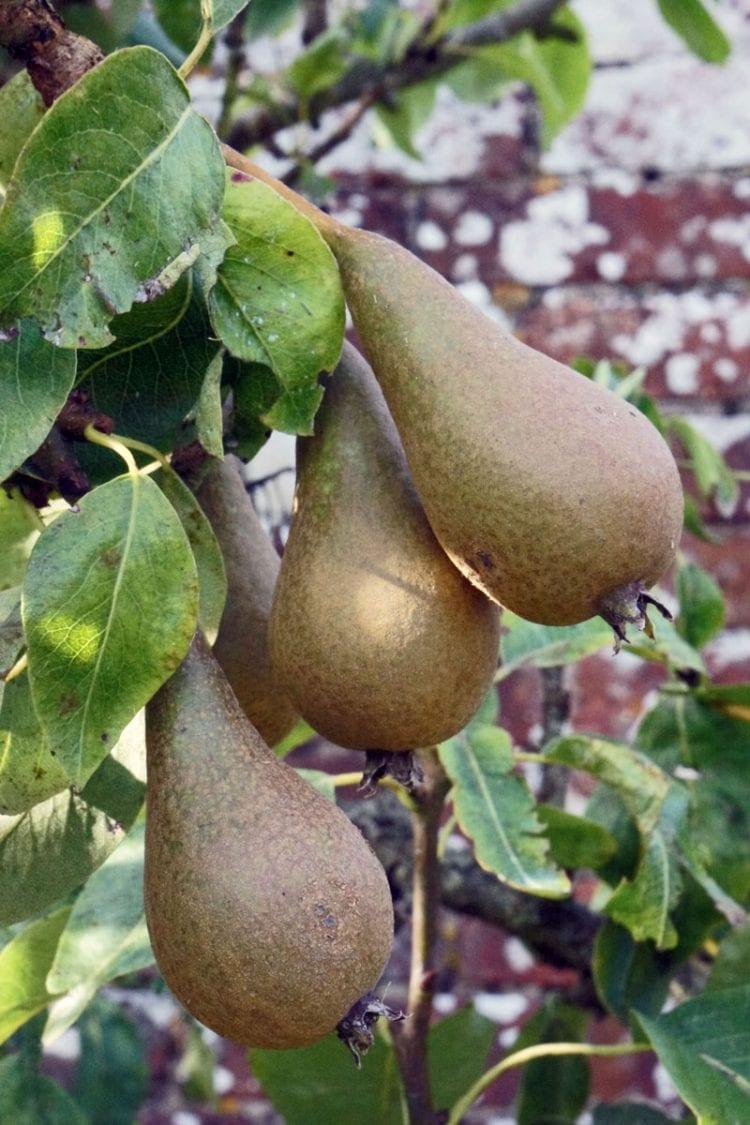 pears in walled garden