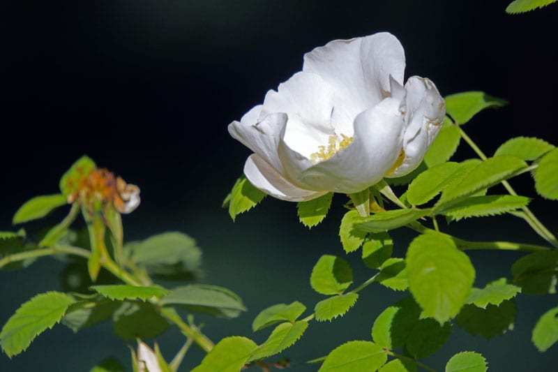 White rose wilting