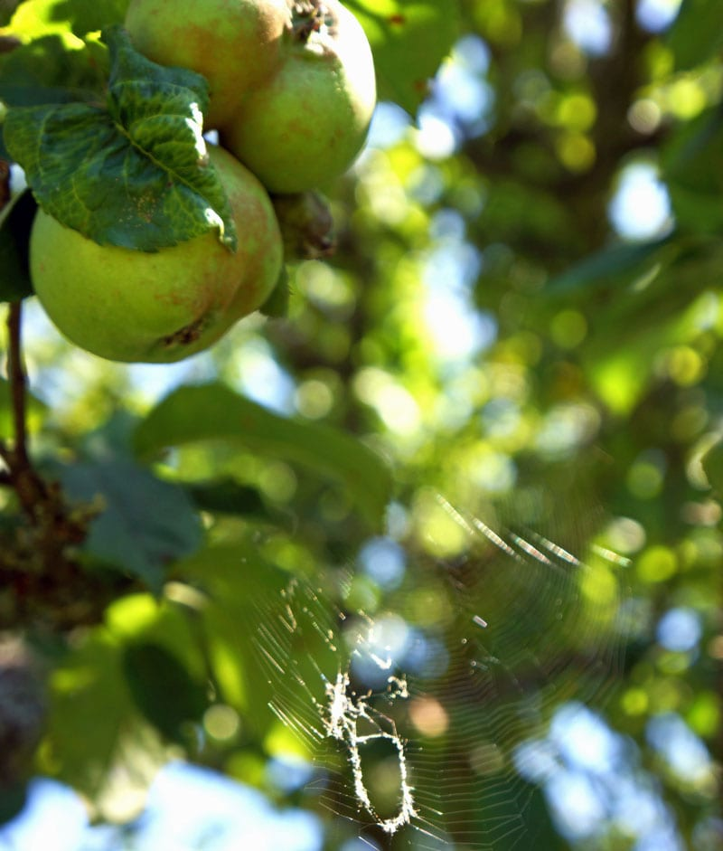 apple and spider web