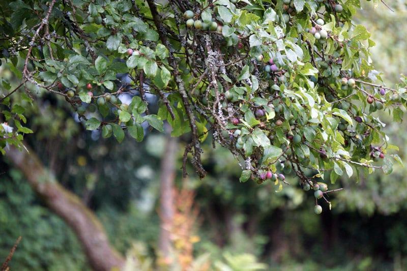 damson tree