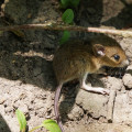 Baby field mouse