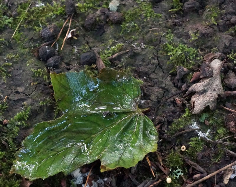 fallen leaf with rainwater