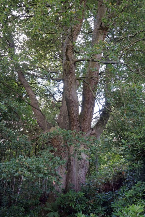 Ancient English oak