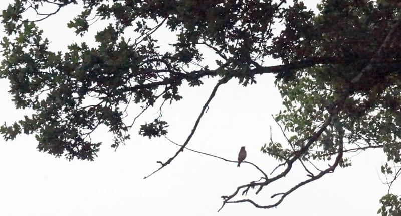 bird singing ancient oak branch
