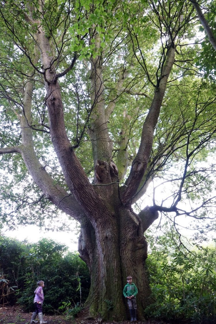 Ancient English oak and kids