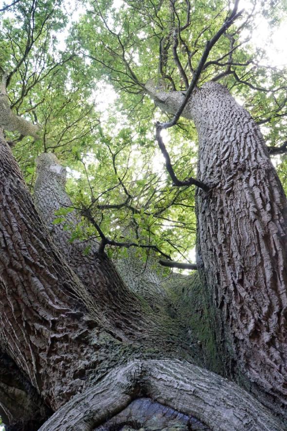 view upwards ancient oak