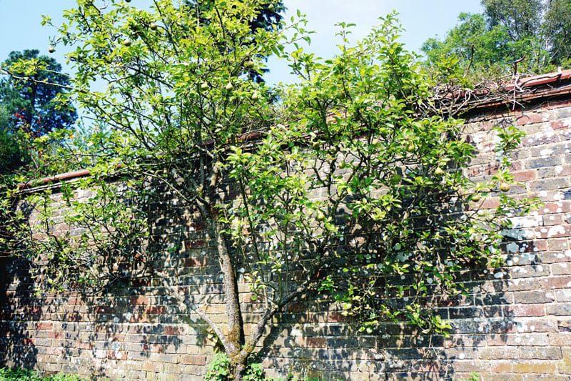 pear tree growing on wall