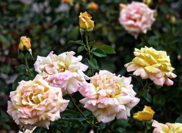 pink yellow shades roses