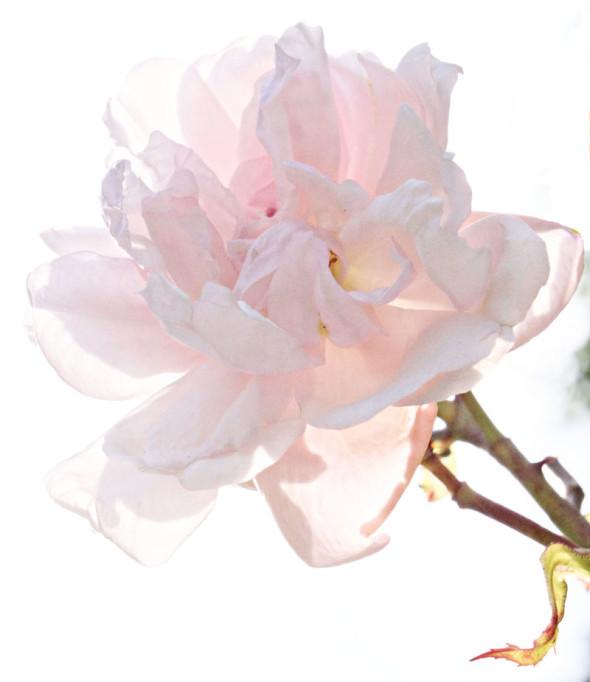 light shining pink rose