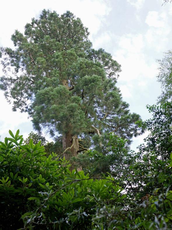 giant redwood above treeline