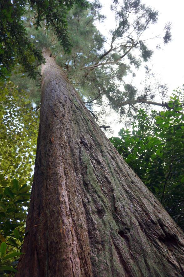 view upwards giant sequioa or wellingtonia
