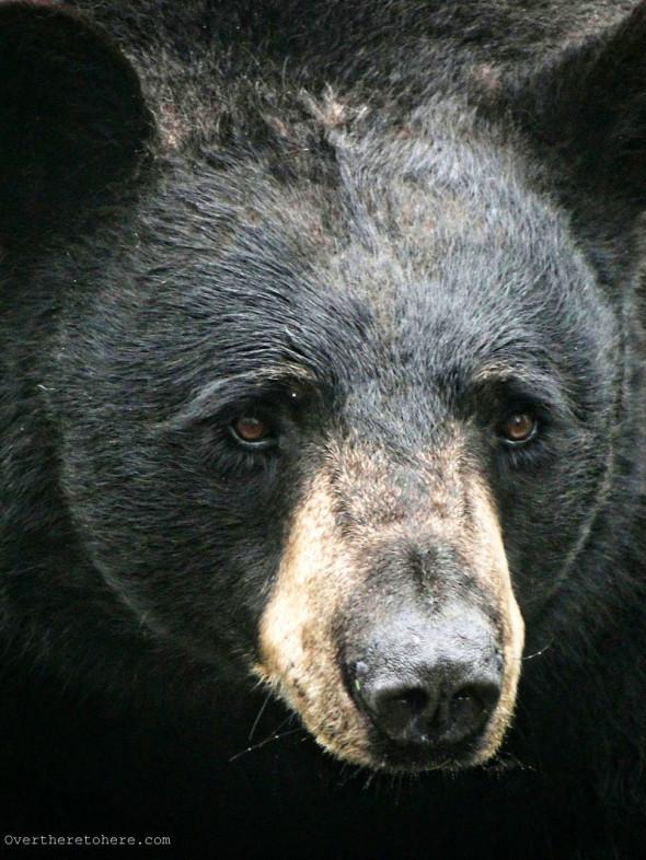 North Carolina Black Bear face