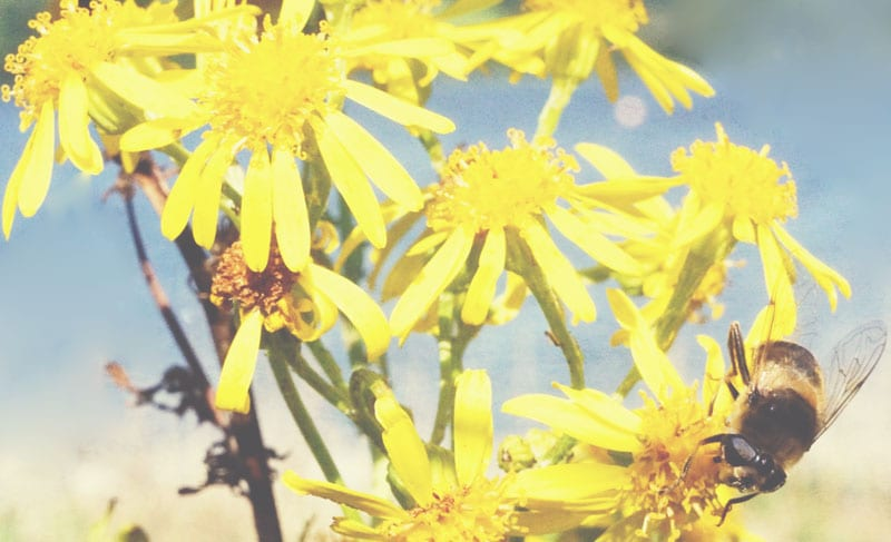 bee and Oxford Ragwort