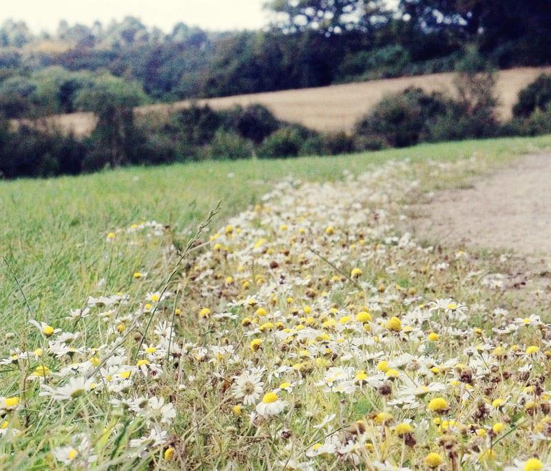 daisy path