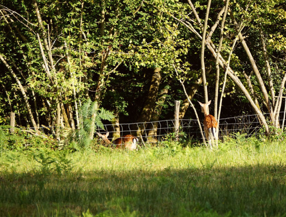 deer jumping over fence