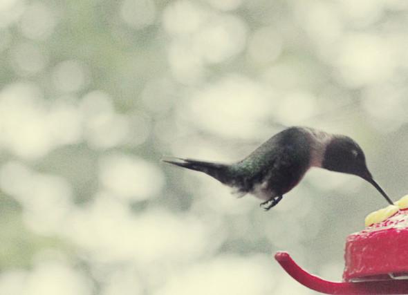 Hummingbird hovering and feeding