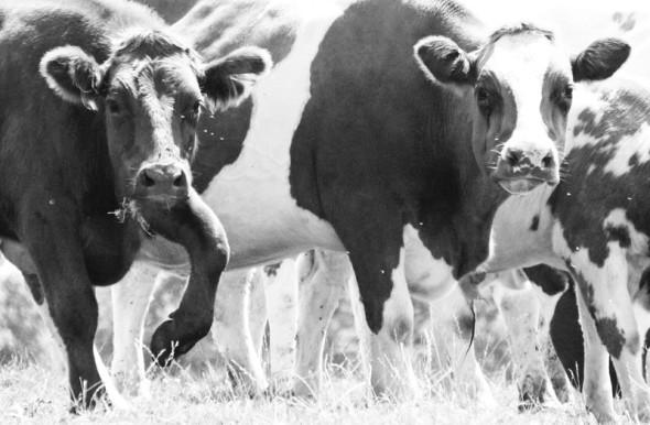 bw photo cows