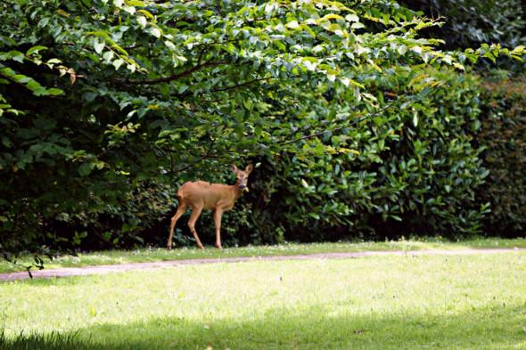 solitary roe deer