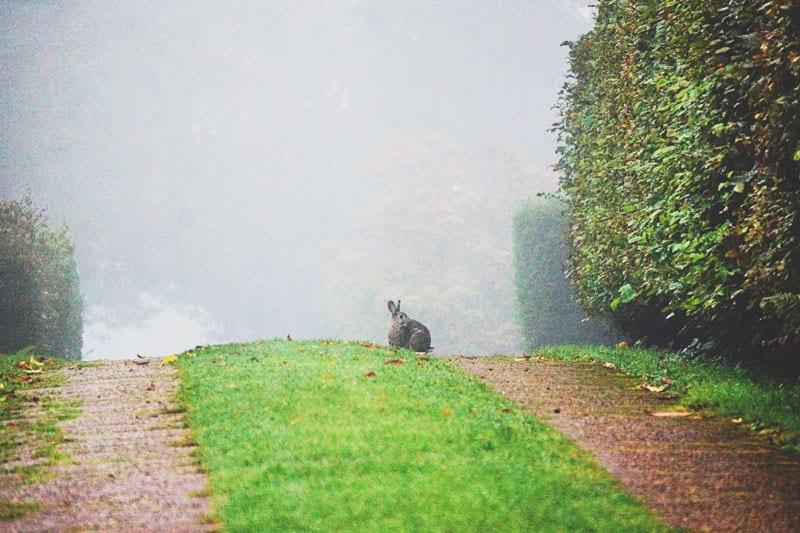 wild rabbit on driveway