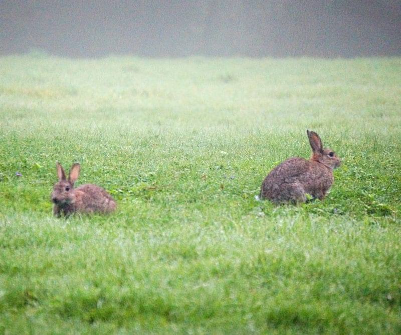 two rabbits in grass field