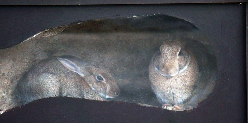 two rabbits inside burrow