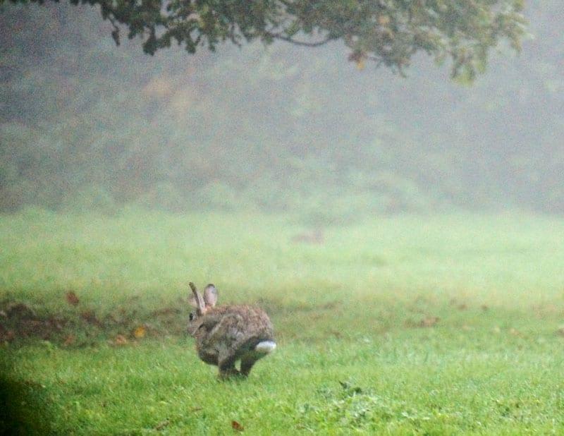 fleeing rabbit