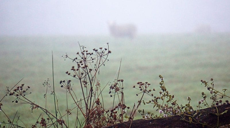 wild flowers and sheep in mist