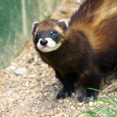Wildlife adventure: British carnivore mammals