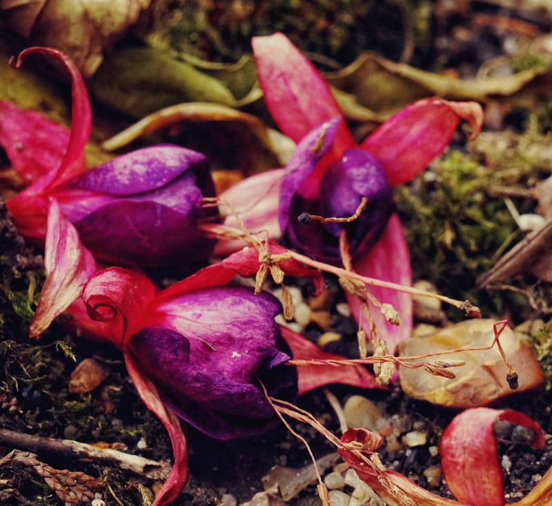 fallen fuschia flowers