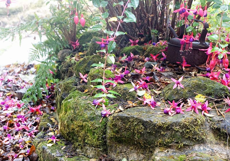 Fuschia blooming fallen