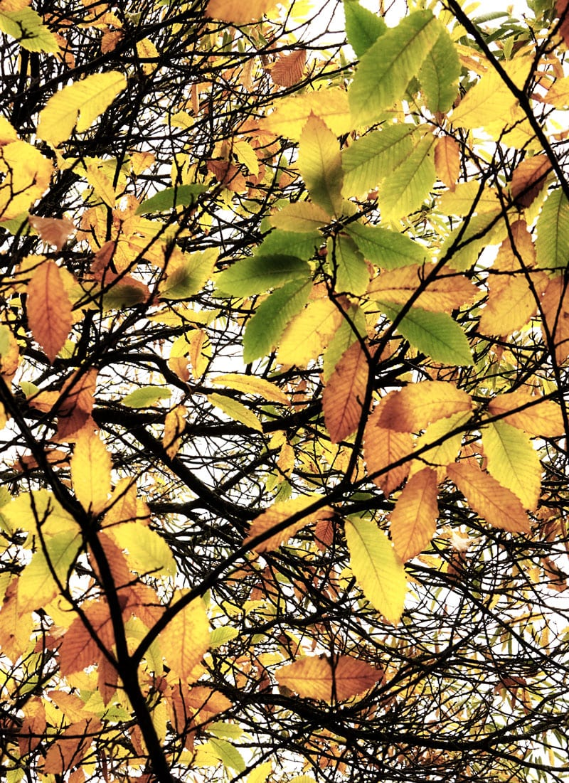 changing colours leaves